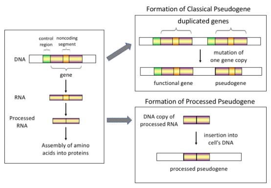 Pseudo_gene_schematic