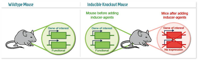 inducible-knockout-mouse-b