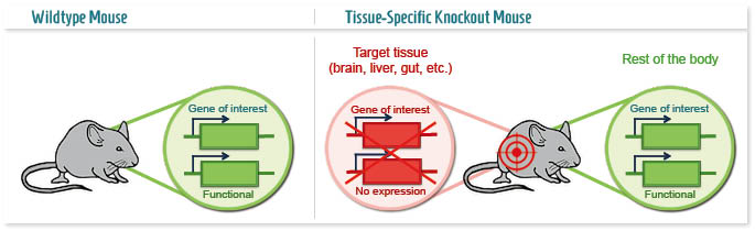 tissue-specific-knockout-mouse