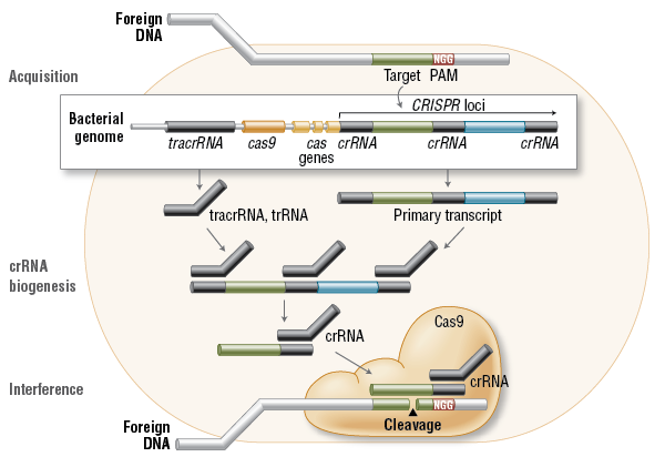 FA_Cas9_Fig1_Cas9InVivo