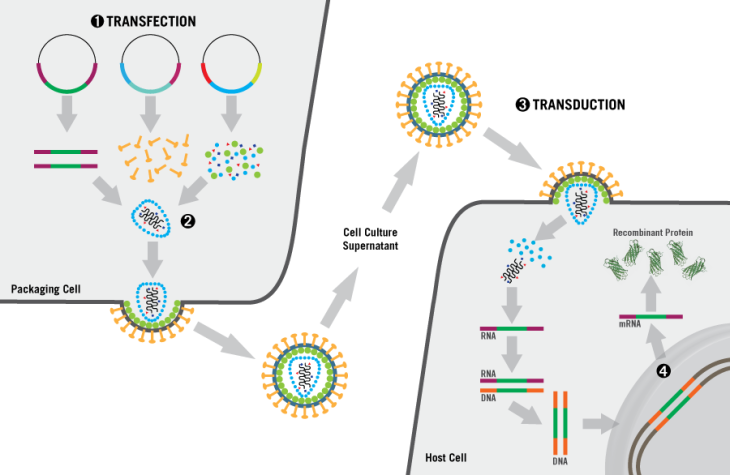 lentivirus-production-mirus-bio-recombinant