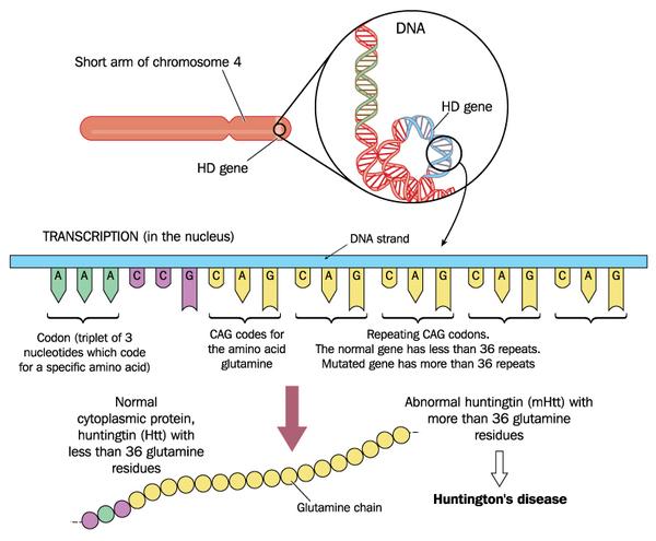 gene-mutation-that-causes-huntington-disease