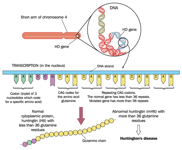 gene-mutation-that-causes-huntington-disease
