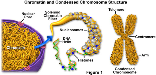 chromatinstructurefigure1