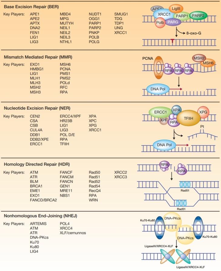 DNA repair_2