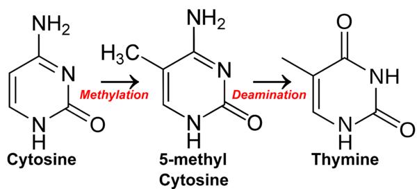 600px-Cytosine_becomes_thymine